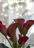 Red calla lilies and rain Royalty Free Stock Photography