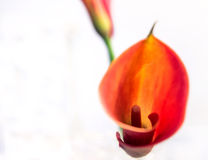 Red Calla Lily Flower detail Royalty Free Stock Photo