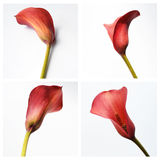 Red calla on a white background Stock Photos