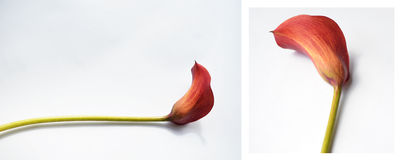 Red calla on a white background Stock Photo