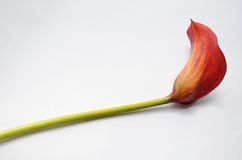 Red calla on a white background Royalty Free Stock Photography