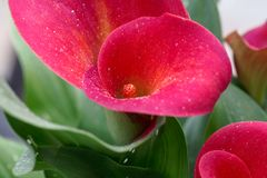 Red calla Zantedeschia aethiopica. Flower of a red calla or arum lily Zantedeschia aethiopica Stock Images