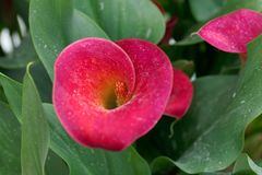 Red calla Zantedeschia aethiopica. Flower of a red calla or arum lily Zantedeschia aethiopica Stock Photography