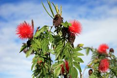Red Calliandra Carbonaria flower, Colombia Stock Photography