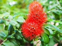 Red Calliandra flower. In Thai temple garden Royalty Free Stock Photography