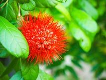 Red Calliandra flower. In Thai temple garden Stock Photography