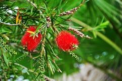 Red callistemon. Bright fluffy callistemon against the backdrop of lush greenery Stock Images