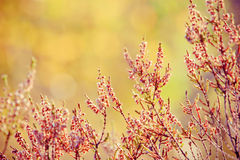 Red calluna Stock Images