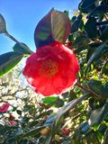 Red Camelia royalty free stock images