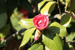 Red camelia. In the garden, Italy Stock Photography