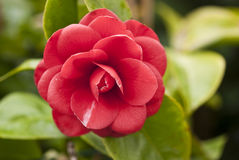 Red Camelia, Italy stock image