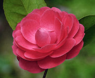 Red camellia. A red camellia in spring Stock Photos