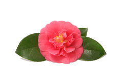 Red Camellia. Flower isolated on white royalty free stock photography