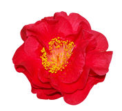 Red Camellia Stock Photography