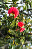 Red camellia stock image