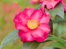 Red camellia blooming in the spring Stock Photos
