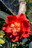 Red Camellia Flower. Close up in a garden Royalty Free Stock Photography