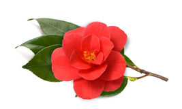 Red Camellia flower. Camellia branch with flower isolated on white background Stock Photography