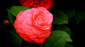 Red camellia flower Stock Image