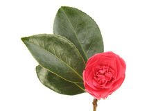 Red Camellia Royalty Free Stock Photo