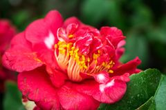 Red camellia flower in full bloom royalty free stock images