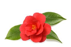 Red camellia. Flower with leaves  isolated on white royalty free stock photography
