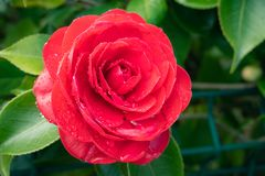 Red camellia flower with rain drops. On a tree. Winter rose royalty free stock photography