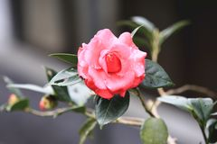 Red Camellia flower with raindrop. Beautiful red flower in full bloom in the garden in spring Royalty Free Stock Images
