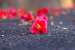 Red camellia flower on road, South Korea. stock image