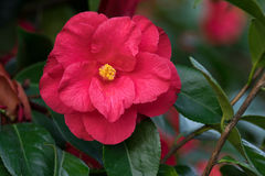 Red Camellia Flower. Single red Camellia flower with leaves can colorful background stock photography