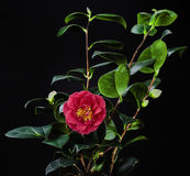 Red Camellia flower with stem on black background. Used for printing newspapers, advertising and design Stock Images