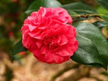 Red Camellia flowers on a bush. Closeup of two beautiful red Camellia flowers on a bush stock photo