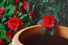 Red camellia Royalty Free Stock Photography