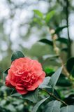 Red Camellia in the garden, with leaves. Foliage. Closeup of a red camellia flower royalty free stock photos