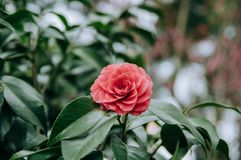 Red Camellia in the garden, with leaves. Foliage. Closeup of a red camellia flower stock images