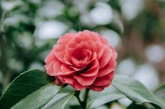 Red Camellia in the garden, with leaves. Foliage. Closeup of a red camellia flower stock image