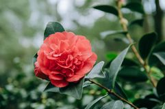 Red Camellia in the garden, with leaves. Foliage. Closeup of a red camellia flower stock photos