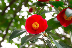 Red camellia. Gorgeous red camellia, which bloom in the spring from the winter Royalty Free Stock Photography
