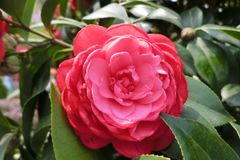 Red camellia at Hong Kong. A red camellia at Hong Kong. Camellia is a common flower at Hong Kong`s garden royalty free stock image