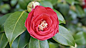 Red Camellia Japonica. Incredible beautiful red camellia - Camellia japonica, known as common camellia or Japanese camellia stock images