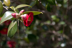 Red camellia japonica. Camellia japonica or Korean Fire branch with red flower Stock Photos