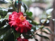 Red Camellia after the Rain. Camellia flower with rain drops and dark green leaves Stock Images