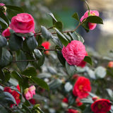 The red Camellia sasanqua in the park Royalty Free Stock Image