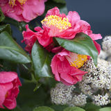 The red Camellia sasanqua and Sorbaria sorbifolia Royalty Free Stock Images
