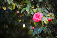 Red camellia royalty free stock image