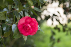 Red camellia Stock Images