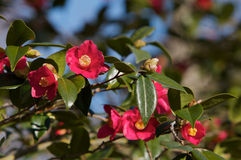 Red Camellias Stock Photo