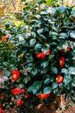 Red Camellias in a Bush at the Garden royalty free stock image