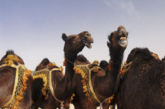 Red camels Royalty Free Stock Photos