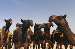 Red Camels Royalty Free Stock Photo